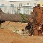 עשרות עצי חורש נכרתו לצורך בניית בית ספר